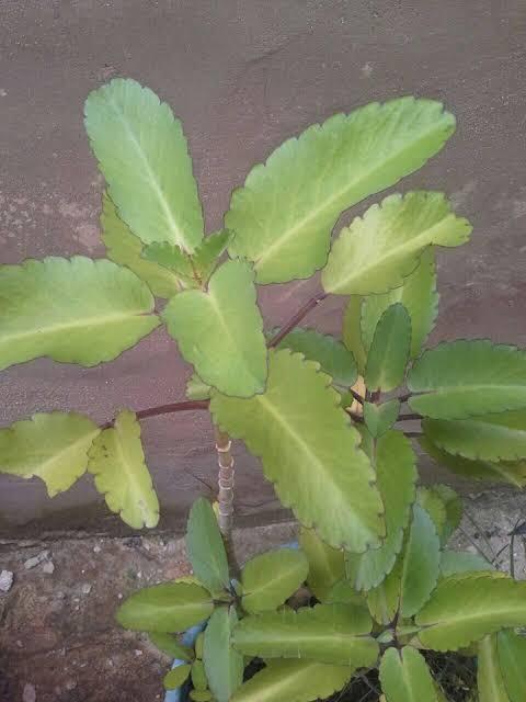 Leaf cures kidney disease